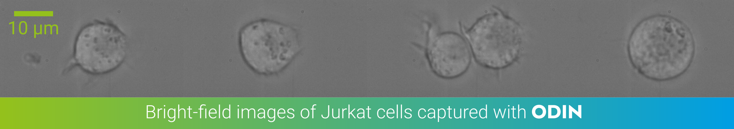 Jurkat cells in bright-field imaged with ODIN at 2800 fps and 5µs shutter time