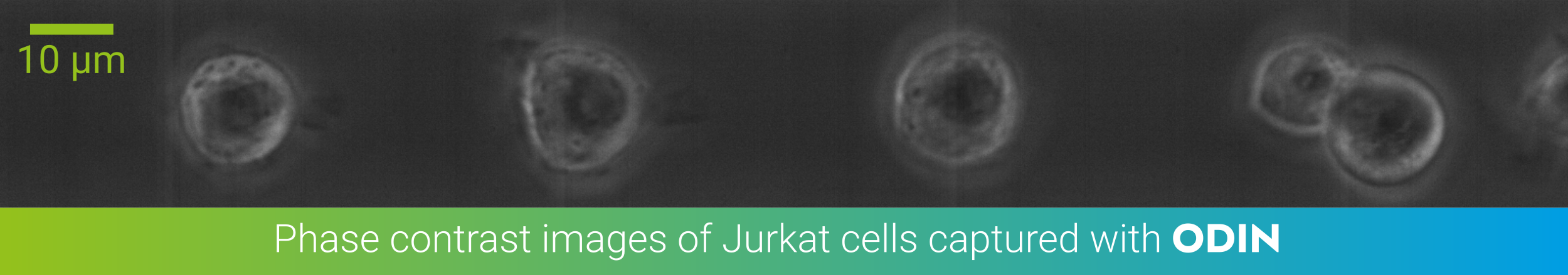 Jurkat cells in phase contrast imaged with ODIN at 2800 fps and 5µs shutter time